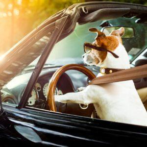 Chien conduisant une voiture